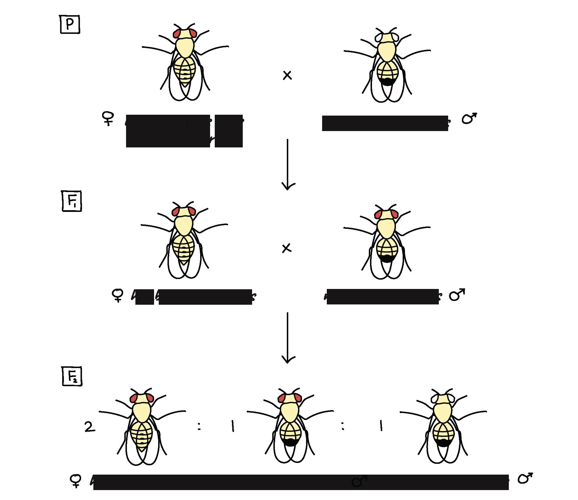 La base cromosómica de la herencia (artículo) | Khan Academy