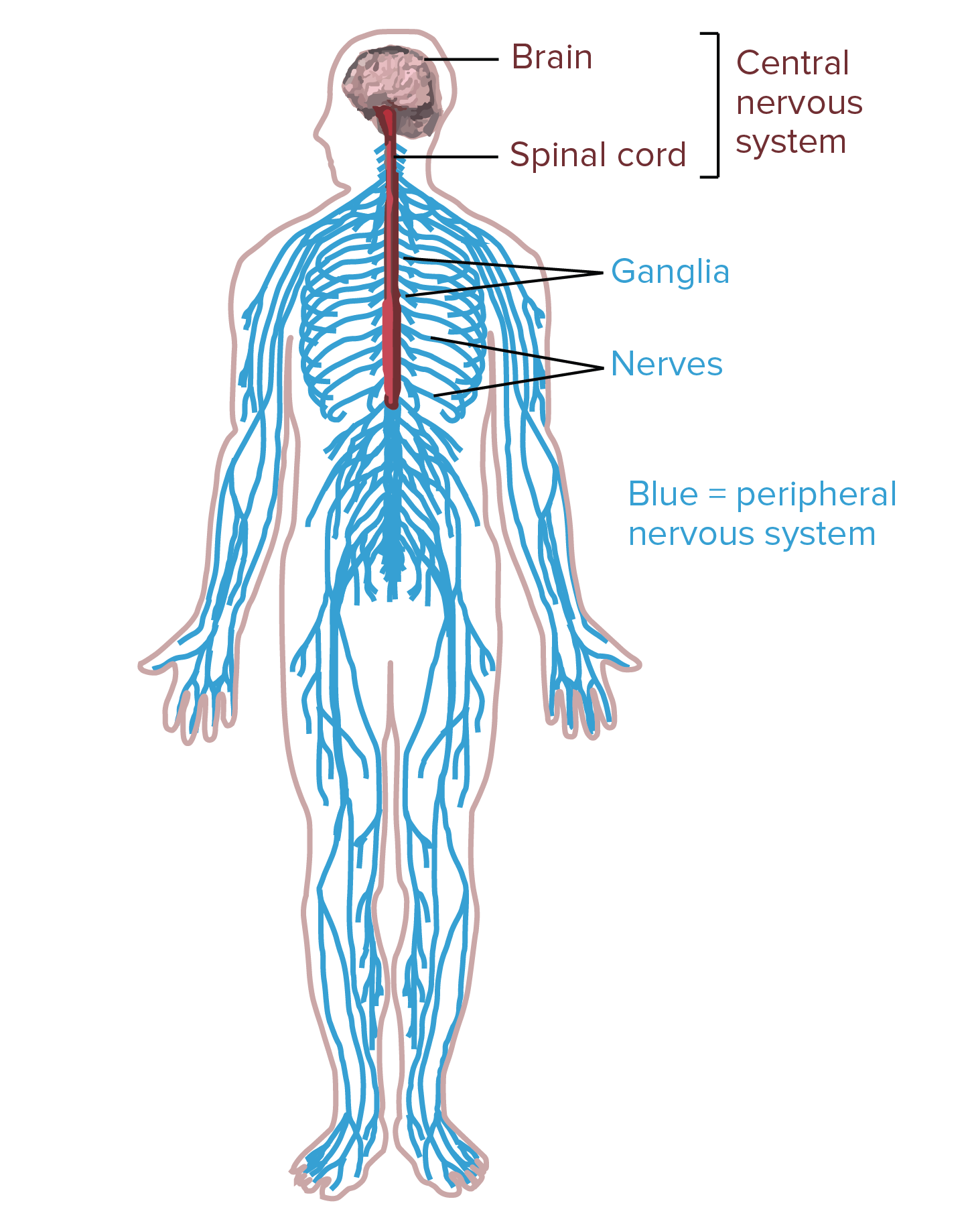nervous system diagram full neorns - wiring diagrams