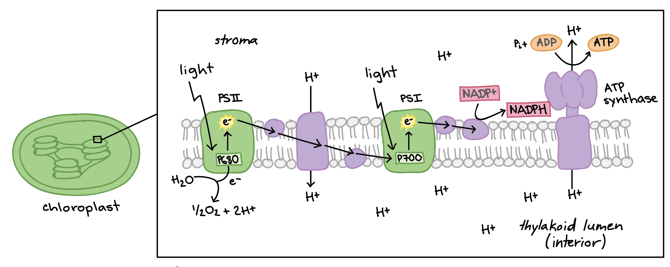 The light dependent reactions article khan academy overview of the light dependent reactions ccuart Image collections