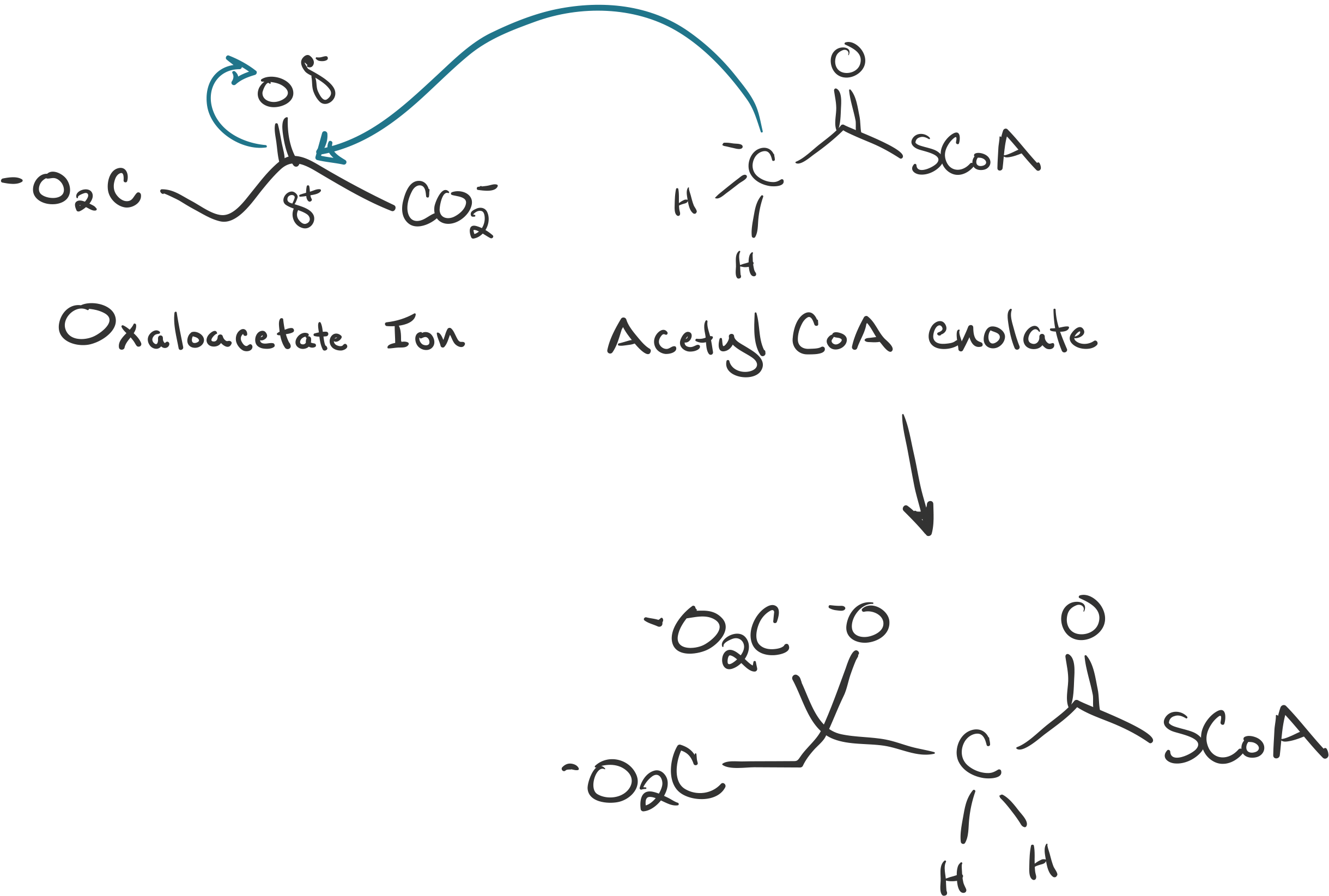 The enolate attacks the electrophilic carbonyl carbon of oxaloacetate ion.
