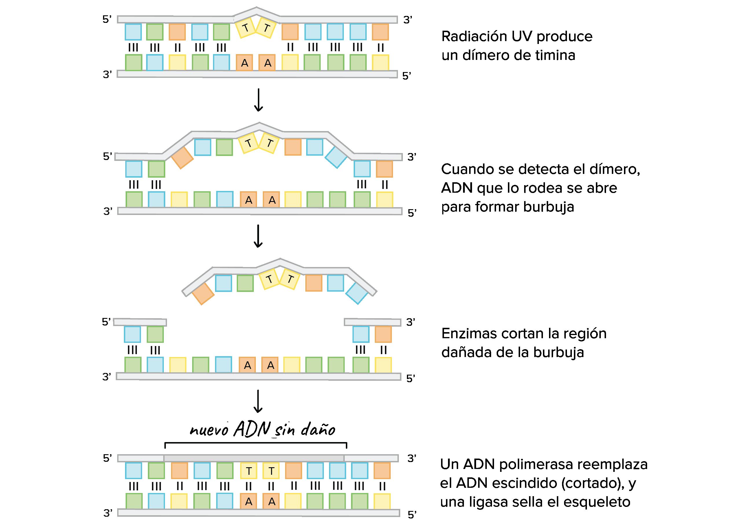 Cómo ocurre la replicación del ADN: experimento de Meselson-Stahl ...